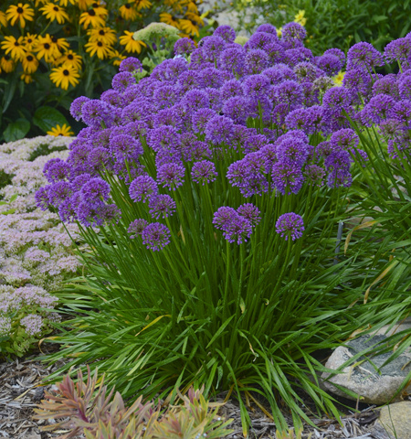 Millenium globe onion - 2018 Perennial Plant of the Year