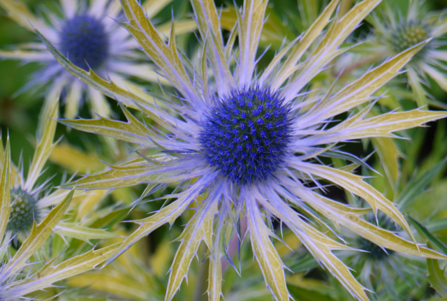 'Neptune's Gold' sea holly