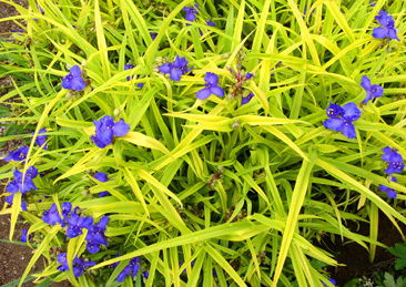 Tradescantia 'Sweet Kate' aka 'Blue and Gold'