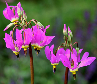 pink Pacific native  Erythronium